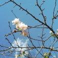 秋に咲く桜だそうな