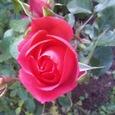 紅葉見に行って、なぜか薔薇・・・